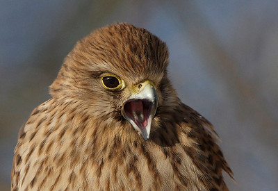Close-up Kestrel