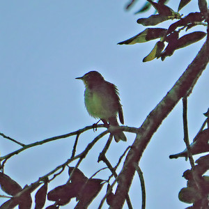 Unidentified Warbler.  This very poor image was pushed (lightened) enormously in order to get any color at all.