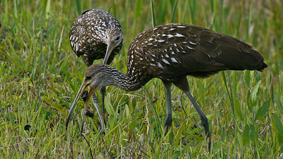 Limpkin pair with Apple Snail