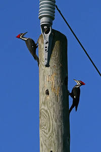 Mr. and Mrs. Pileated Woodpecker