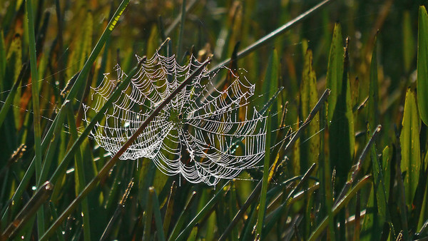 Spider web pretending to be a Spider Lily