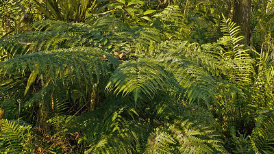 Variety of Sheild Fern