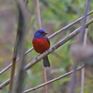 Painted Bunting (♂)
