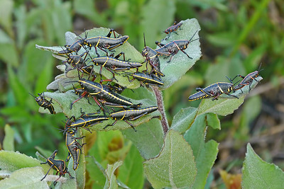 Lubber Grasshoppers