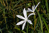 Swamp Lily (aka String Lily)