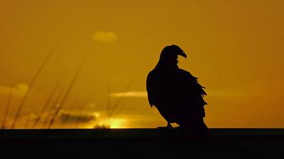 Turkey Vulture at sunrise
