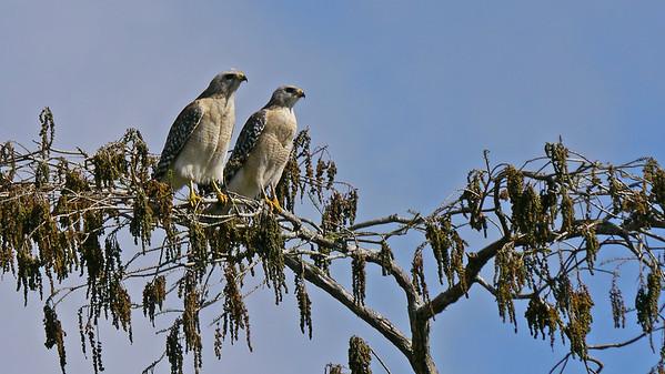 Red-shouldered Hawk pair
