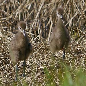 Limkpin chicks (2 of 5)