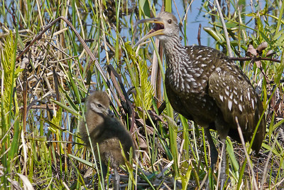 Limpkin parent and Chick with deformed beak