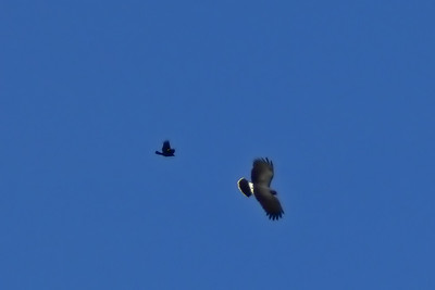 Snail kite being harassed by a Grackle
