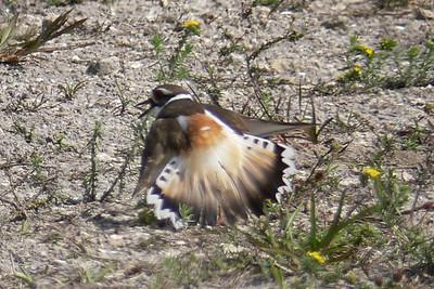 Killdeer feigning broken wing