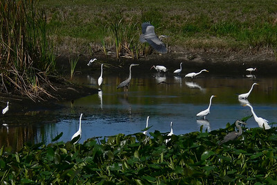 Mass of Egrets and Herons