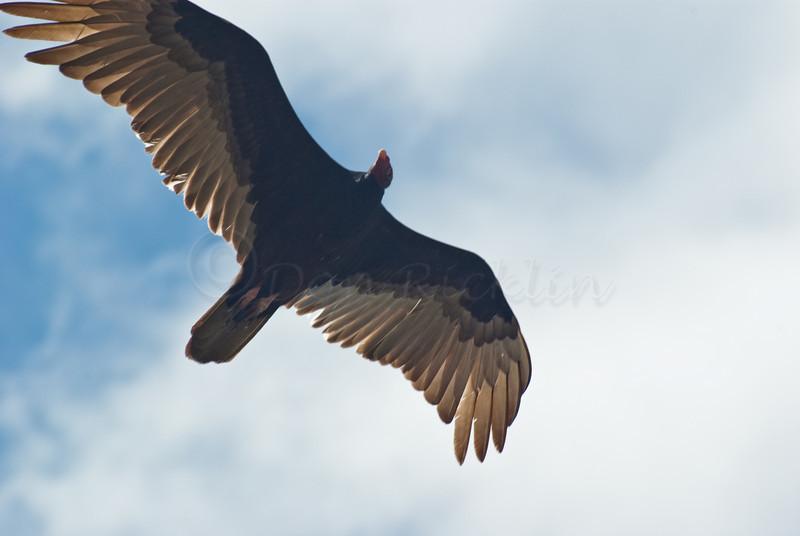 Sunlight through Turkey Vulture feathers.
