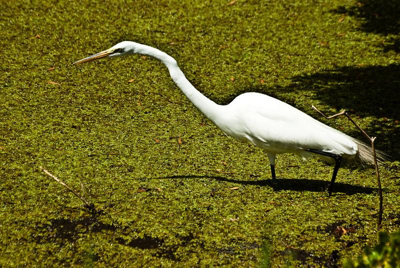 Fishing Egret