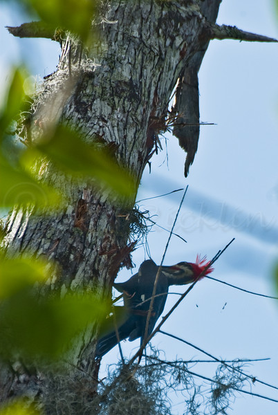 Palliated Woodpecker at work high in a tree.