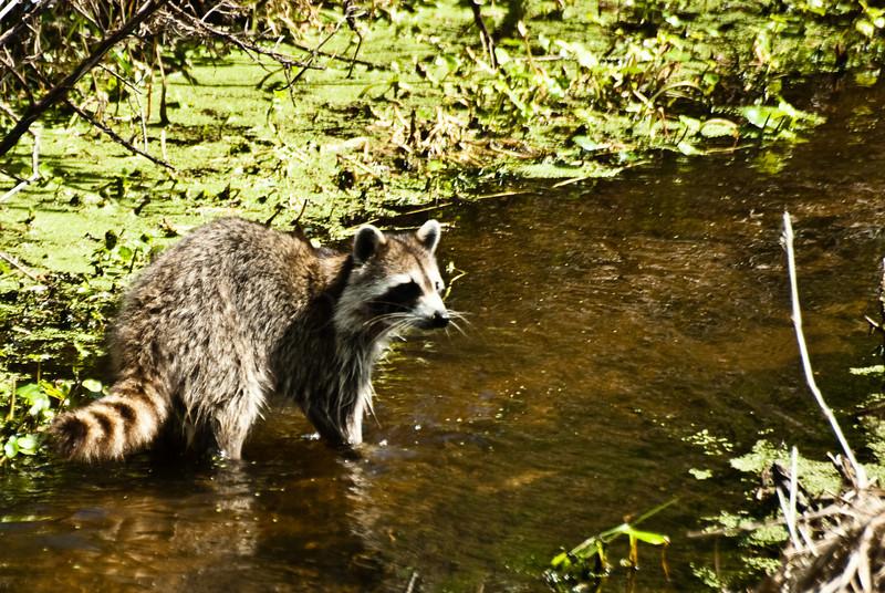 Racoon wading