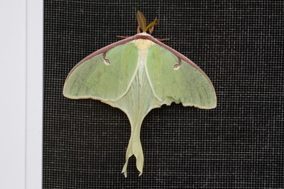 Luna Moth backyard in Trempealeau County June 13, 2015