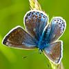 Common Blue (F) - Olympus E3, Zuiko 70 - 300mm, 1/40 sec at f6.3, ISO 200