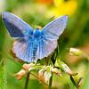 Holly Blue - Olympus E3, Zuiko 70 - 300mm, 1/400 sec at f7.1, ISO 200