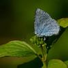 Holly Blue (f) - Olympus E3, Zuiko 70-300mm, 1/800 sec at f8, ISO 200