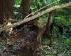 Hollow, fallen cypress tree.