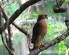 A red shouldered hawk looks for a meal in the cypress swamp surrounding the spring.