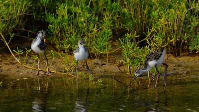 Hawaiian Black Neck Stilt chicks