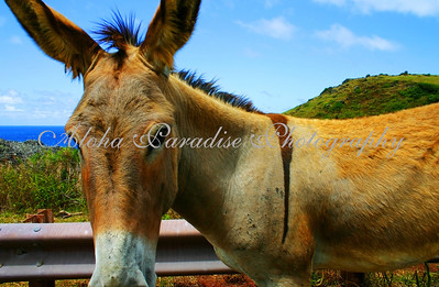 DONKEY ALONG WEST MAUI HIGHWAY 30