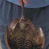 Horseshoe Crab(Limulus polyphemus)