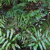 Netted Chain Fern (Woodwardia areolata)