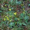 Maryland Hawkweed (Hieracium marianum)