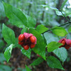 Strawberry Bush or Bursting Heart (Euonymus americanus)
