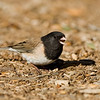 Dark-eyed Junco (Oregon thurberi)