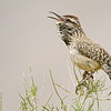 Cactus Wren singing up a storm.
