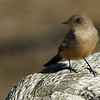 Say's Phoebe sitting on a large rope rail.