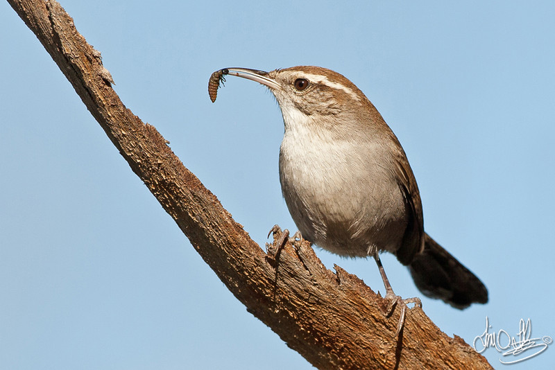 Bewick's Wren with a grub