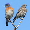 Adult and Juvenile Bluebird