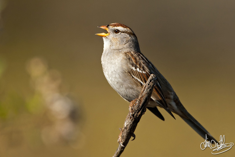 White-crowned Sparrow juvenile