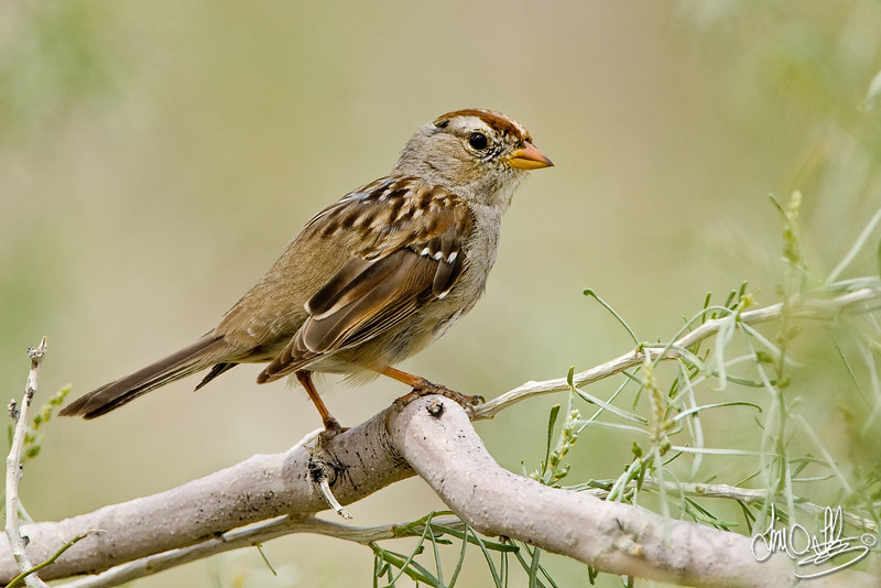 Juvenile White Crown Sparrow