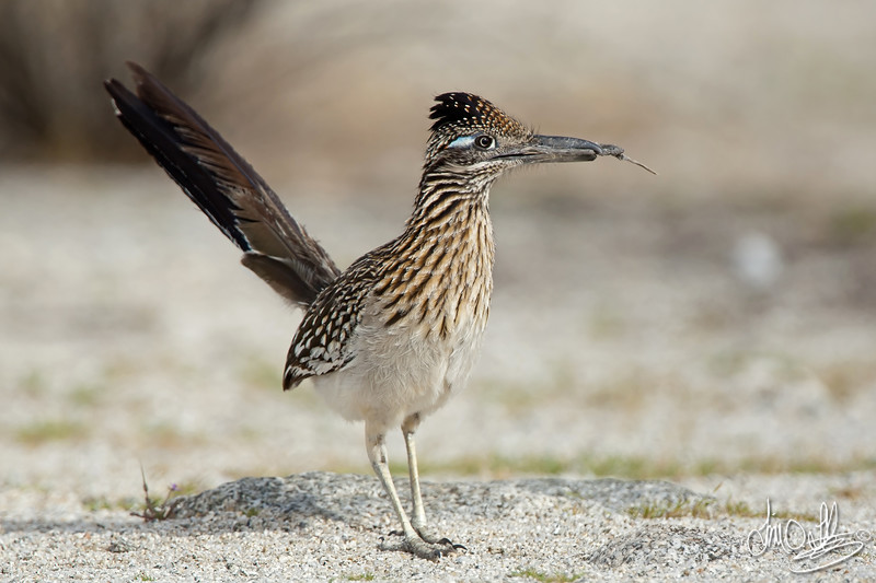 Greater Roadrunner with a stick