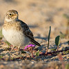 Horned Lark fledge