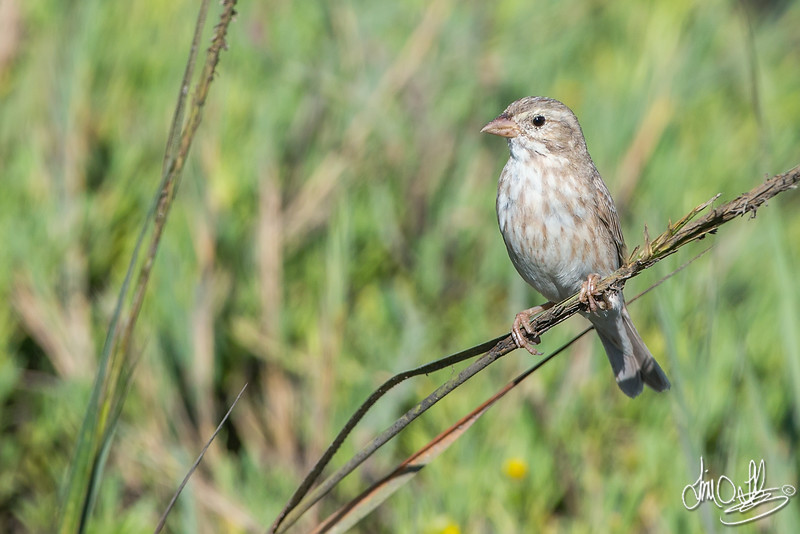 Large-billed Savannah Sparrow (leucistic)