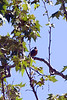 A sure sign of spring  ~AMERICAN ROBIN atop Sycamore near Mission Dam ~ Spring 2009