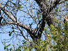 Can you find the bird in this tree ?                                                                                                                                                                                     It's a NUTTAL's WOODPECKER...