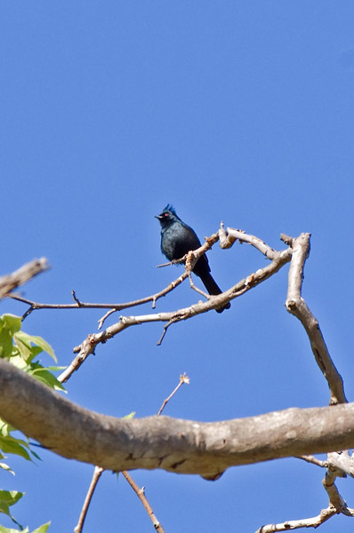 Male PHAINOPEPLA at Mission Trails ~ Spring 2009