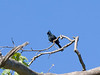 PHAINOPEPLA male atop Sycamore at Mission Trails ~ Spring 2009