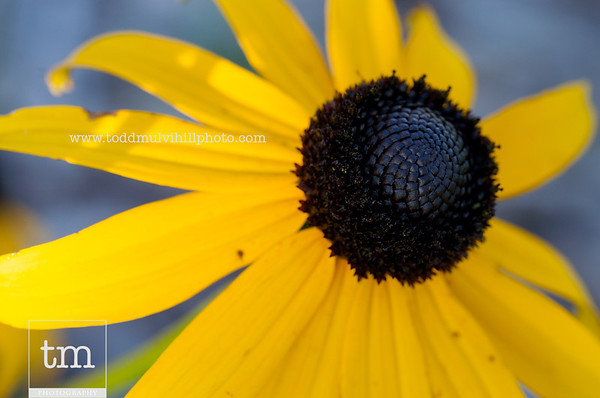 Black-Eyed Susans in the Backyard