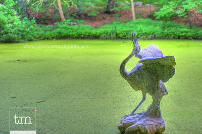 The Blue Heron stands majestically in a pond of green.