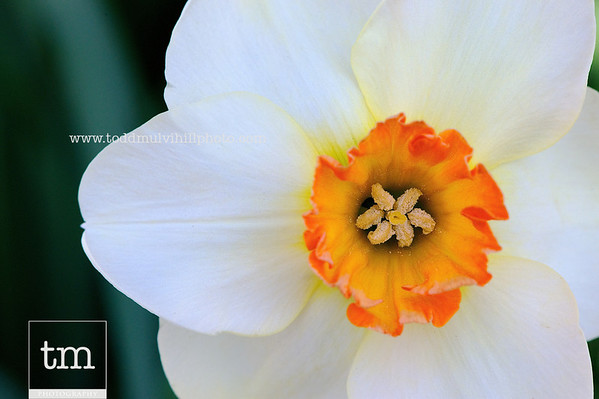 Daffodil Dream