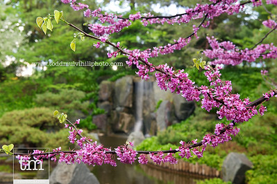 The blooms of a Redbud tree frame the waterfall in the Japanese Garden after a thunderstorm.